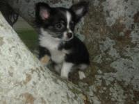 Black Tricolor Long Hair Chihuahua Male 11 Weeks Old