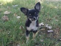 Adorable Long Hair Female Chihuahua Tricolor. 13 weeks