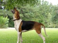 AKC, UKC,and PKC Registered Bitch. Excellent Pedigree