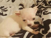 True snow white teacup Chihuahua currently 9 ounces at