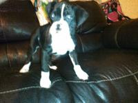 Boxer Puppy, Born Nov 24, 2014, $750 Fee. Papa is