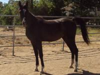 We are offering a beautiful two year old Arabian
