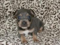 UKC males. Located in GA. PLL clear by parentage. They