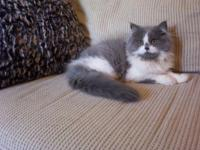 BEAUTIFUL CFA PERSIAN FEMALE KITTEN FOR SALE. WE