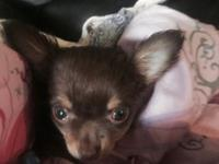 Beautiful 8 week old chihuahuas of AKC registered
