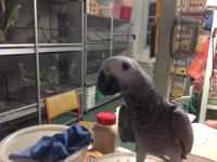 Hello,For sale 4 years female African Grey. Very big,