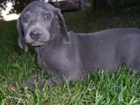 We have 2 stunning Blue puppies. They are my kids
