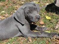 Beautiful Weimaraner Puppies For Sale 1 Male Blue, 3