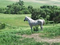15-year-old Gray Stallion for Sale. General has