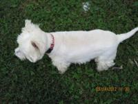 Gorgeous adult male purebred westie. 5 years old. 19