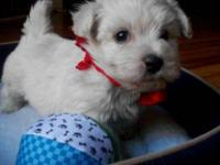 Adorable Westie mom and Maltese, dad, hybrid puppies