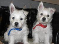 Beautiful West Highland White Terriers. Pure bred born