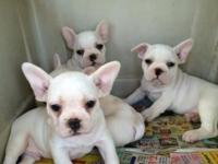 I have the cutest 3 white make french bulldog puppies