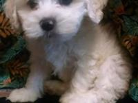 This adorable boy is a Cockapoo. A Cockapoo is a cross