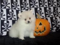 No resellers! Meet Baxter, He's an adorable white/cream