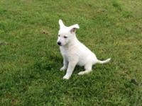 Four adorable White GSD male puppies. ACA registered,