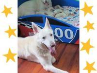 AKC Registered German Shepherds Puppies have been vet