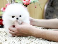 Purebred Maltese puppies for adoption. Beautiful white