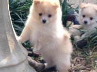 WKC signed up Pomeranian puppies. 2 ladies and 1 male.