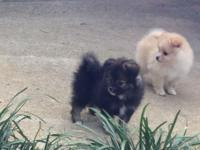 Gorgeous WKC registered Pomeranian young puppies for