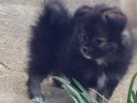 WKC registered Pomeranian puppy male. He has been