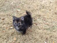 Beautiful WKC signed up Pomeranian male puppy for sale.
