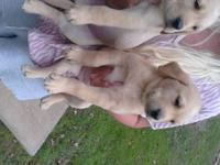 ******** CHRISTMAS PUPPIES******* ((((((SWEET LAB.