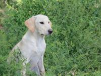 We have two beautiful yellow lab puppies for sale. They