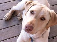 Beautiful Yellow Labrador Retriever 9 months old, named