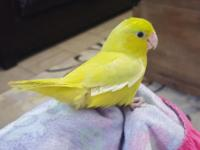 I have a 9 weeks old yellow parrotlet she is semi tame