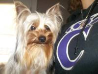 Beautiful male yorkie for sale. He is very sweet-I