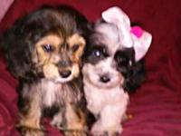 Stunning Yorkie / Cocker-Poo Puppies We have Two Little