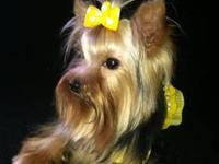 Beautiful little AKC registered Yorkie female is
