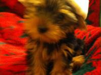 Pure Breed Yorkies. Ladies and Male at $900. The