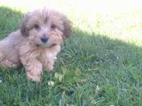 Absolutely adorable yorkie-poos pups are looking for a
