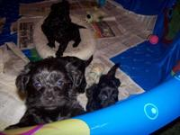 Sweet yorkie poo's 4 sale. They are very spirited & &