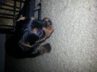 Yorkshire Terrier puppies for sale! Taking deposits at