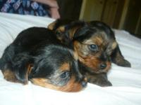 We have THREE beautiful female yorkies born just a week