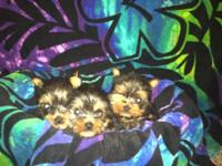 I have three little Yorkie puppy's forsale  they