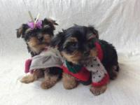 Child Yorkies (Yorkshire Terrier) Puppies Have 2