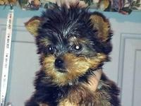 YORKIE MALE, SMALL, DOB 9/19/14, GREAT QUALITY, EARS