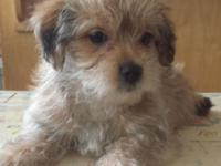 2 lovable Yorkshire Terrier mix guy young puppies are