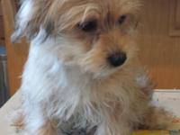 A charming Yorkshire Terrier mix male puppy is