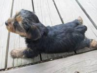 I have 5 beautiful yorkie puppies for sale. They will
