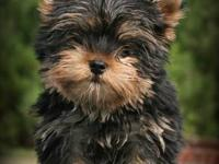 Precious Yorkshire Terrier male puppy available to a