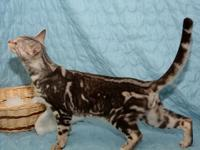 Beautiful, active, fun-loving Bengal girls available.