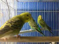 I have various colored young parakeets  Females