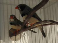 Beautiful Zebra finches. We have a 3 month old