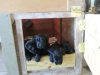Offered are 4 Black Giant Schnauzer Puppies with