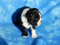 Have this beautiful AKC registered Boston Terrier male